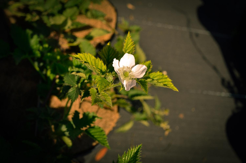 blackberry-traveler-flower