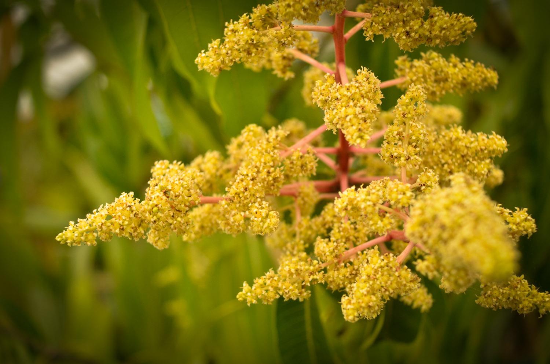 mango-flower-0674.jpg