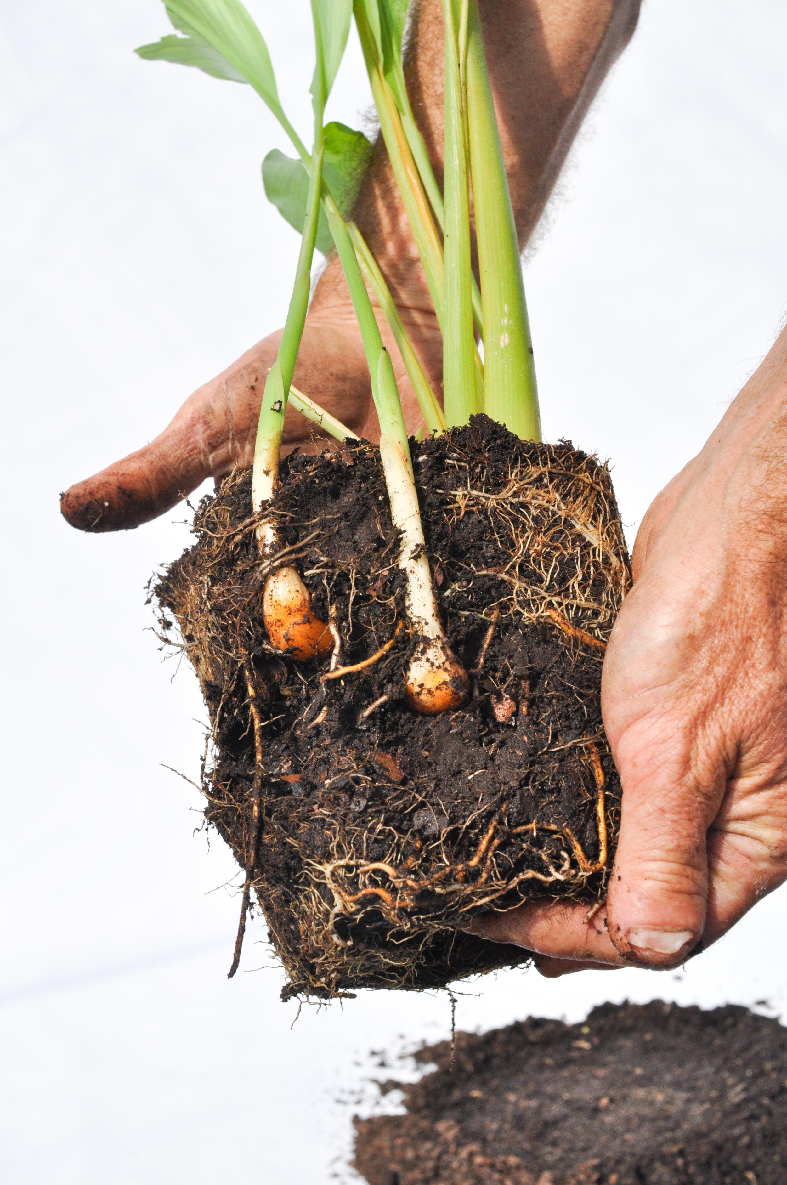 turmeric-plant-root-rhizome.jpg