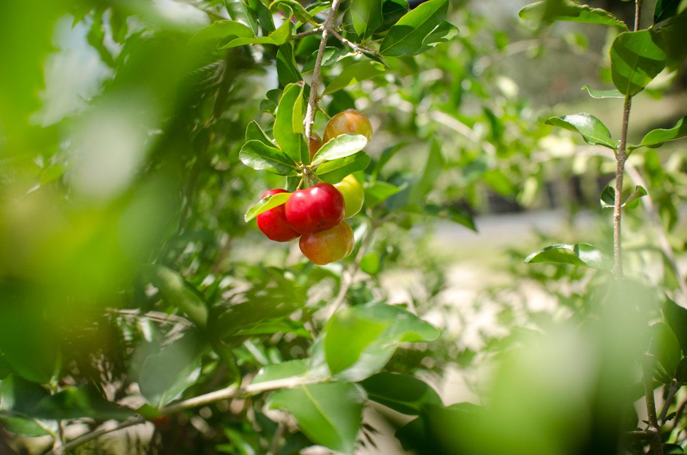 barbados cherry fruit-6050.jpg
