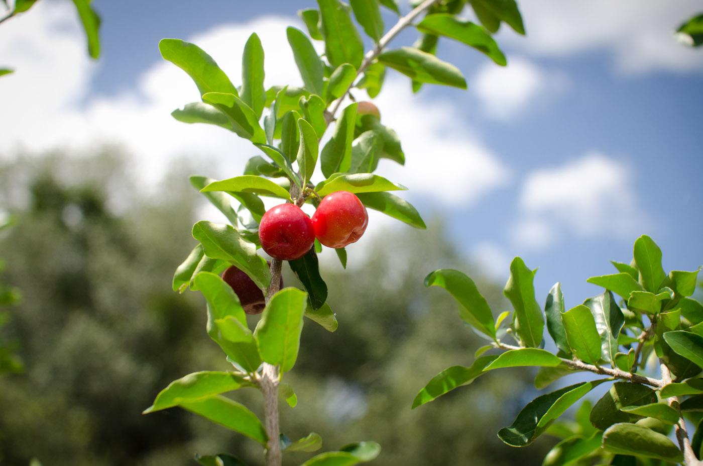 barbados cherry fruit-6047.jpg