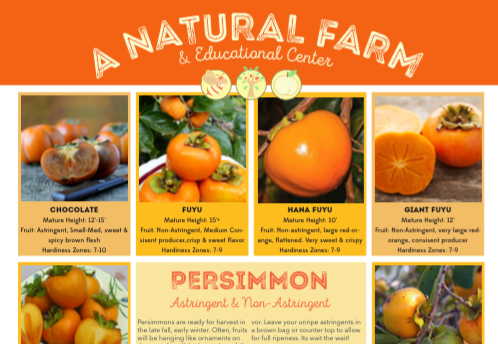 Persimmon Comparsion & Informational Poster for Astringent and Non-Astringent types.