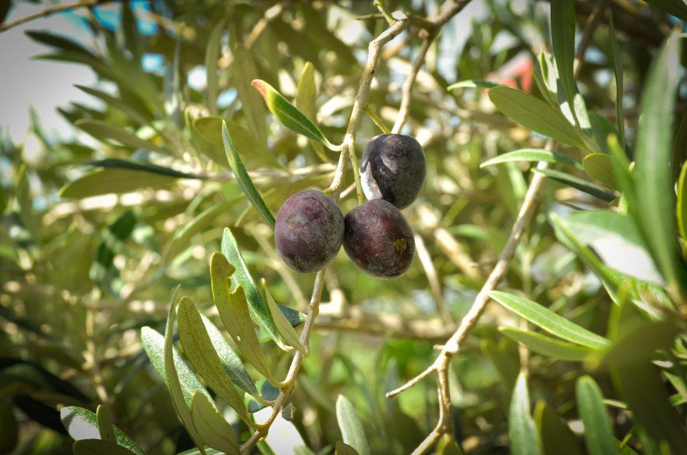 olive-fruit-2505.jpg