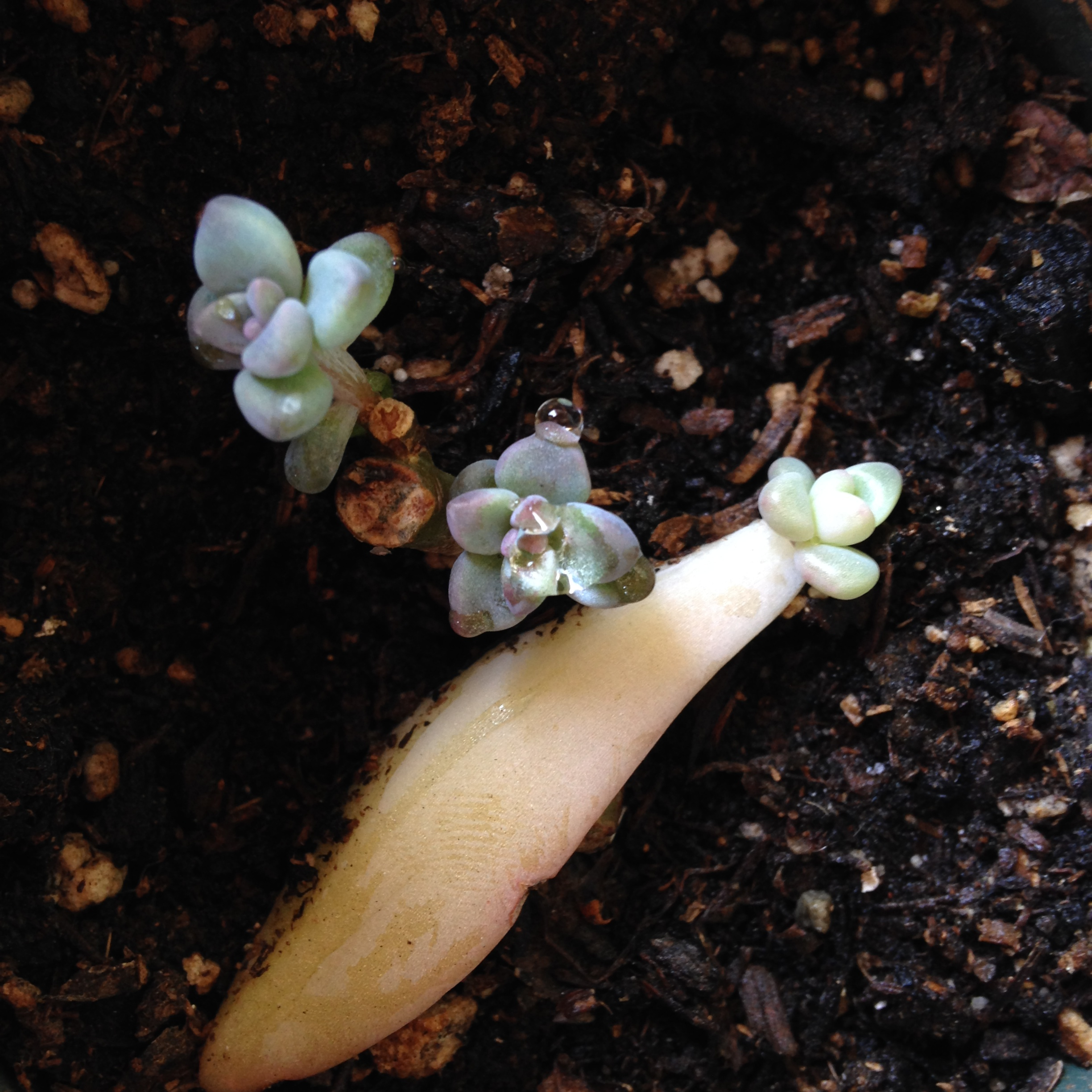 This succulent's first leaves wilted off because it didn't adjust to the cold quickly enough. it is now sprouting..