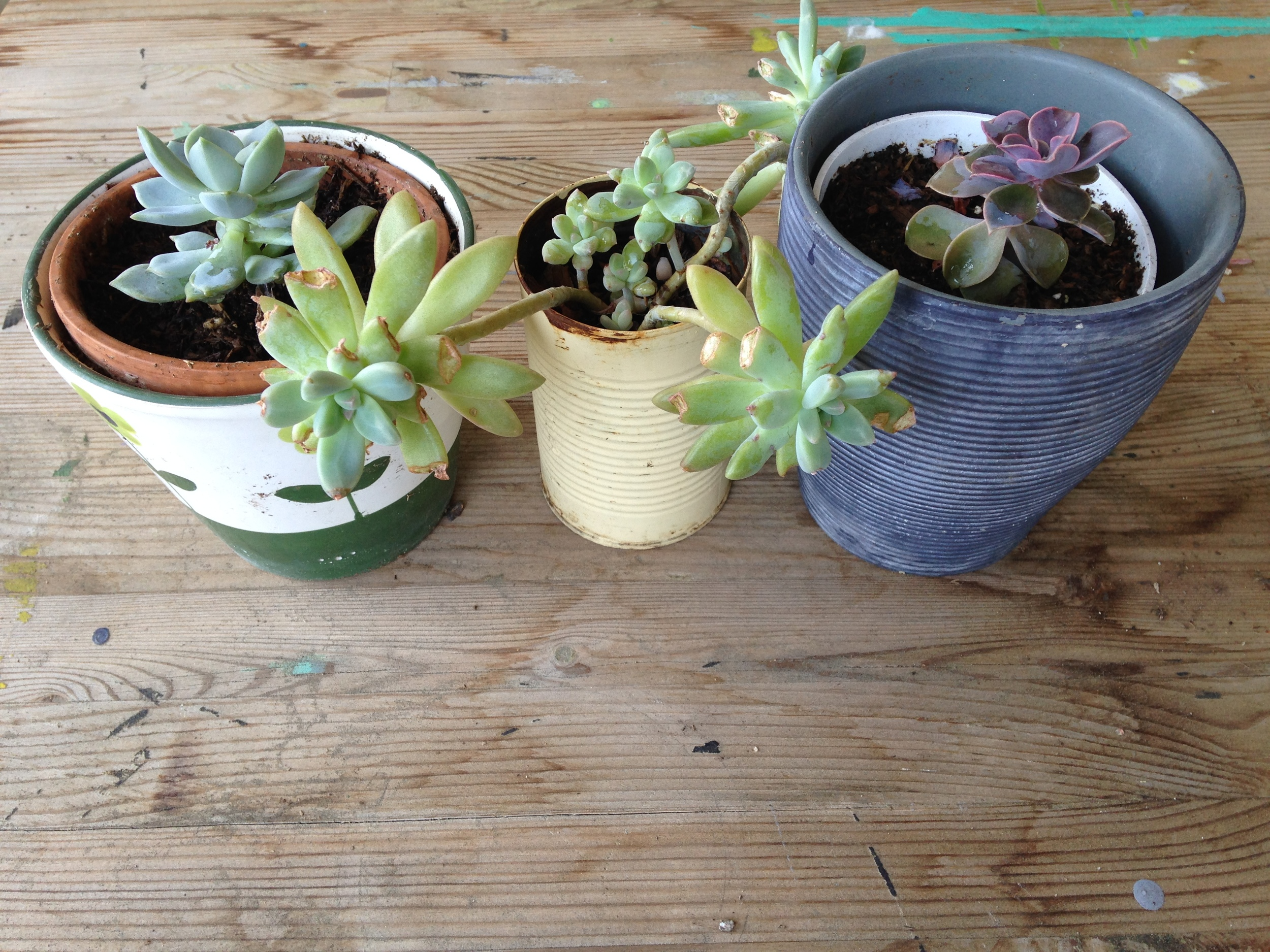 The succulent in the middle got bitten by squirrels, and has a home in a tin can. it's not the most elegant home, and yet, it is growing more leaves than its fancier peers