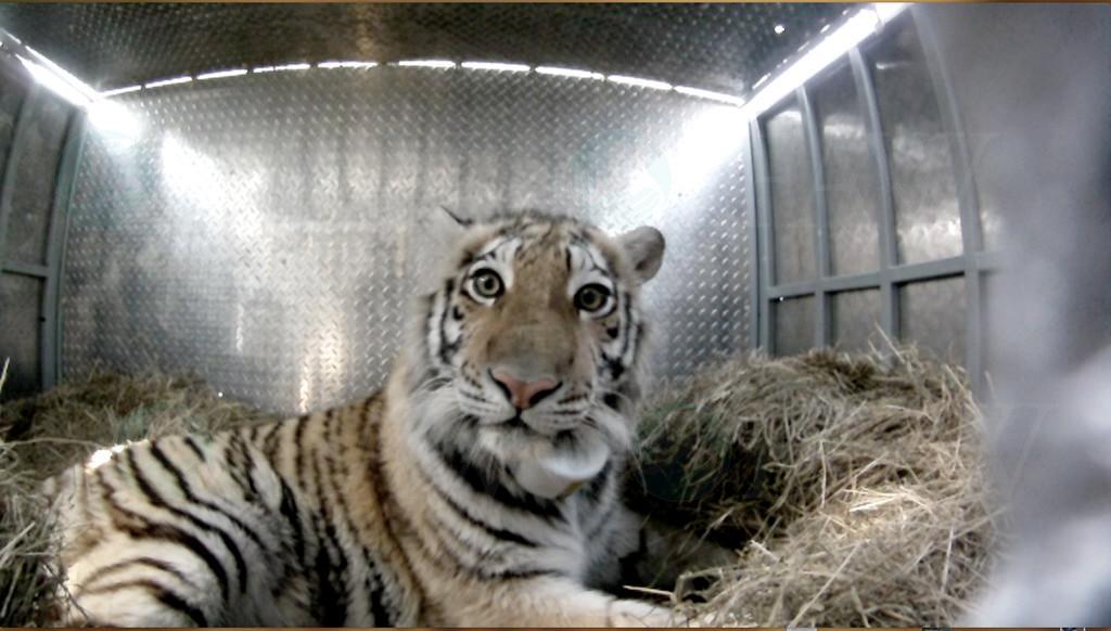 Zolushka, the rescued tiger