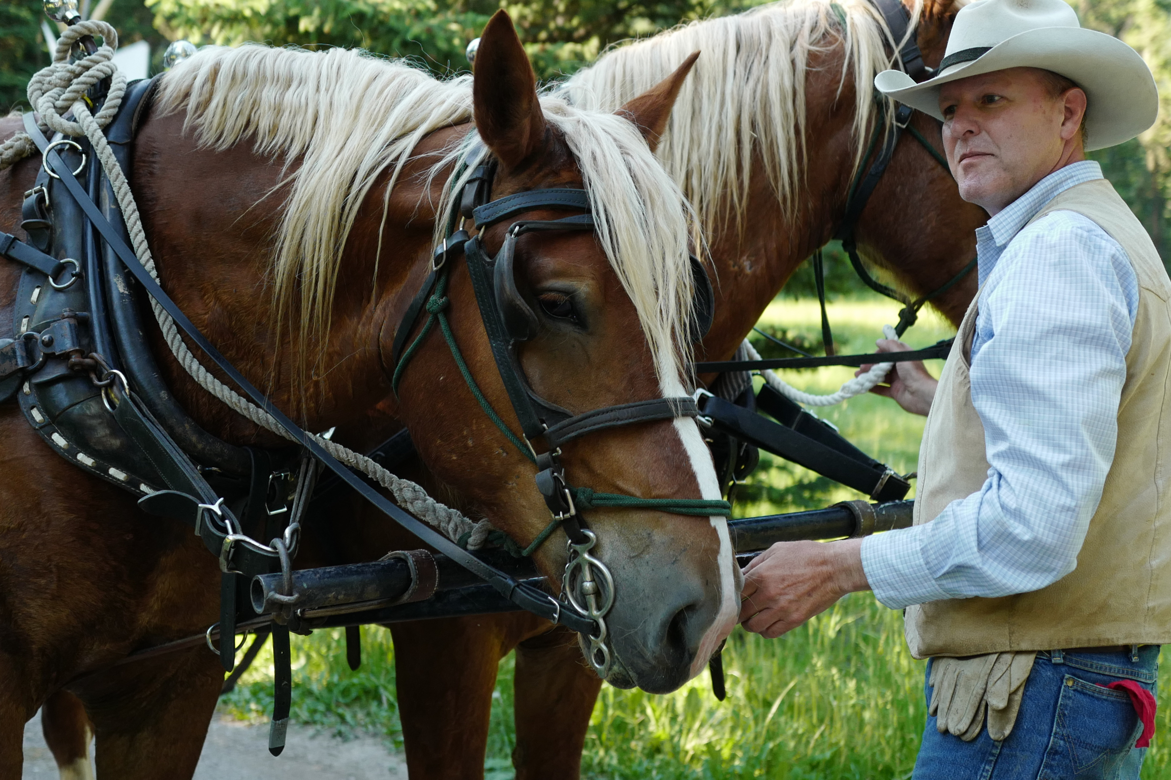 Cowboy Tom and the draft horses