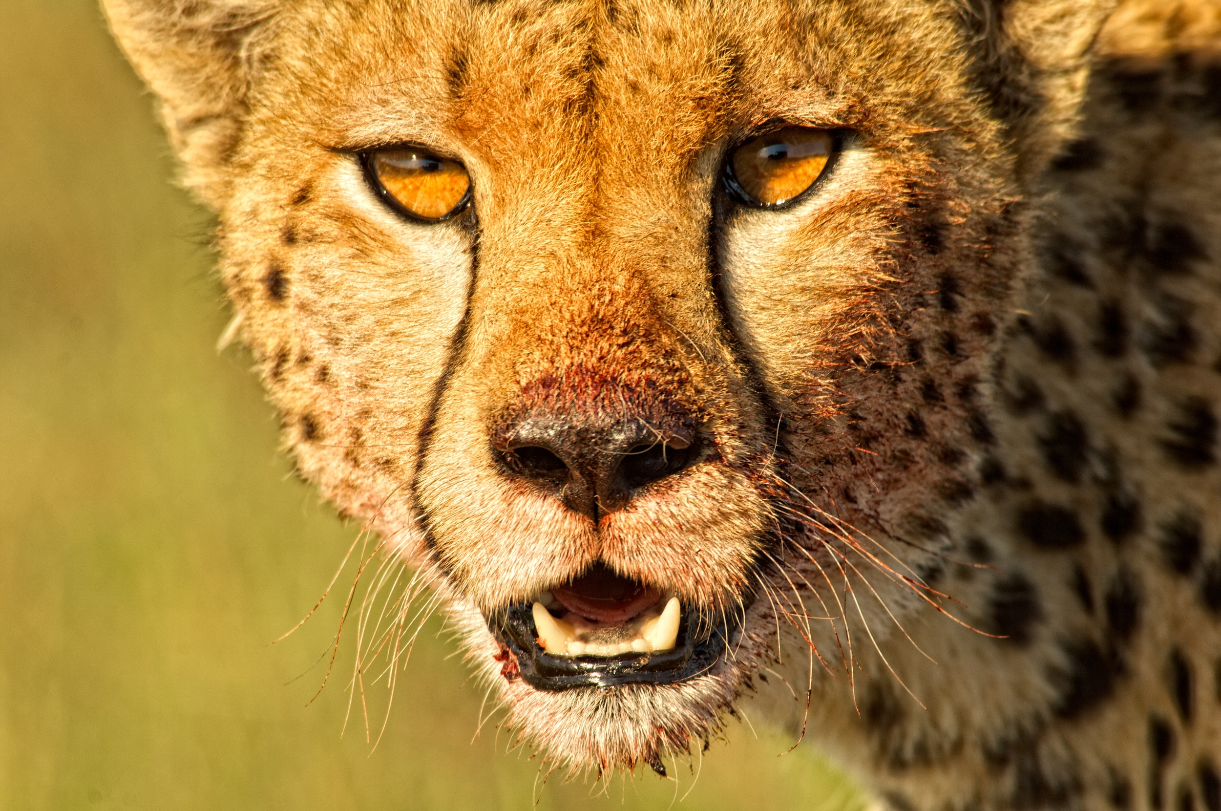 Cheetah-portrait-Mara-Bush-Houses-HR.jpg