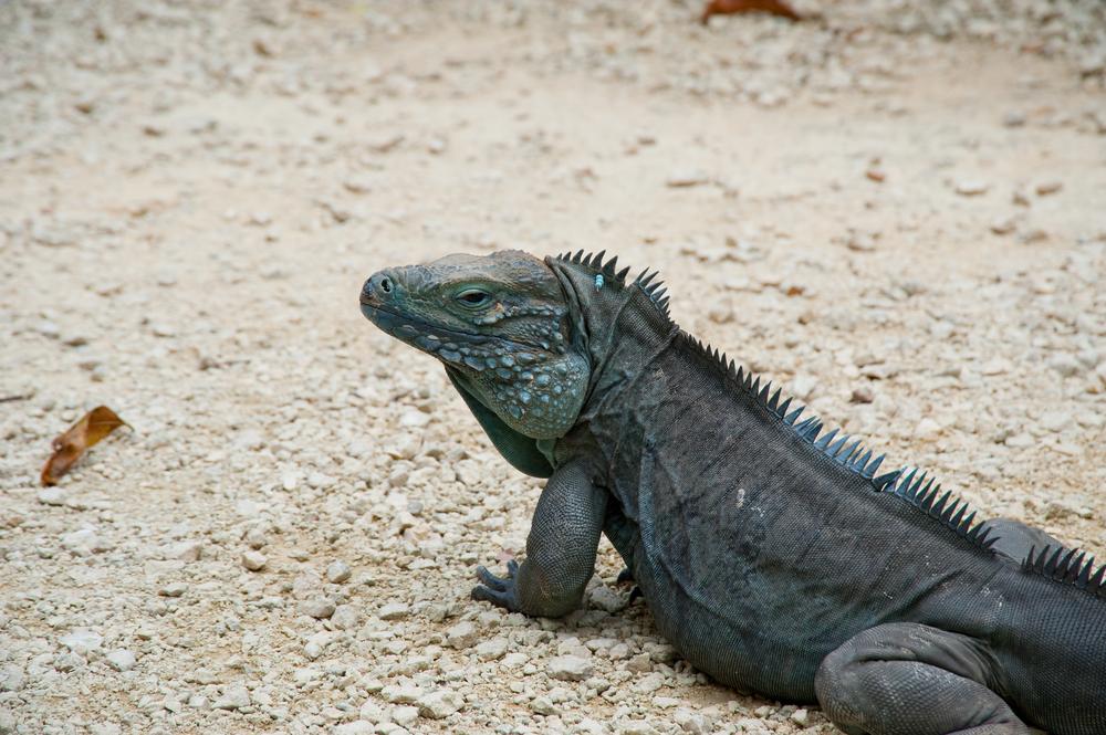 Grand Cayman Blue iguana.jpg
