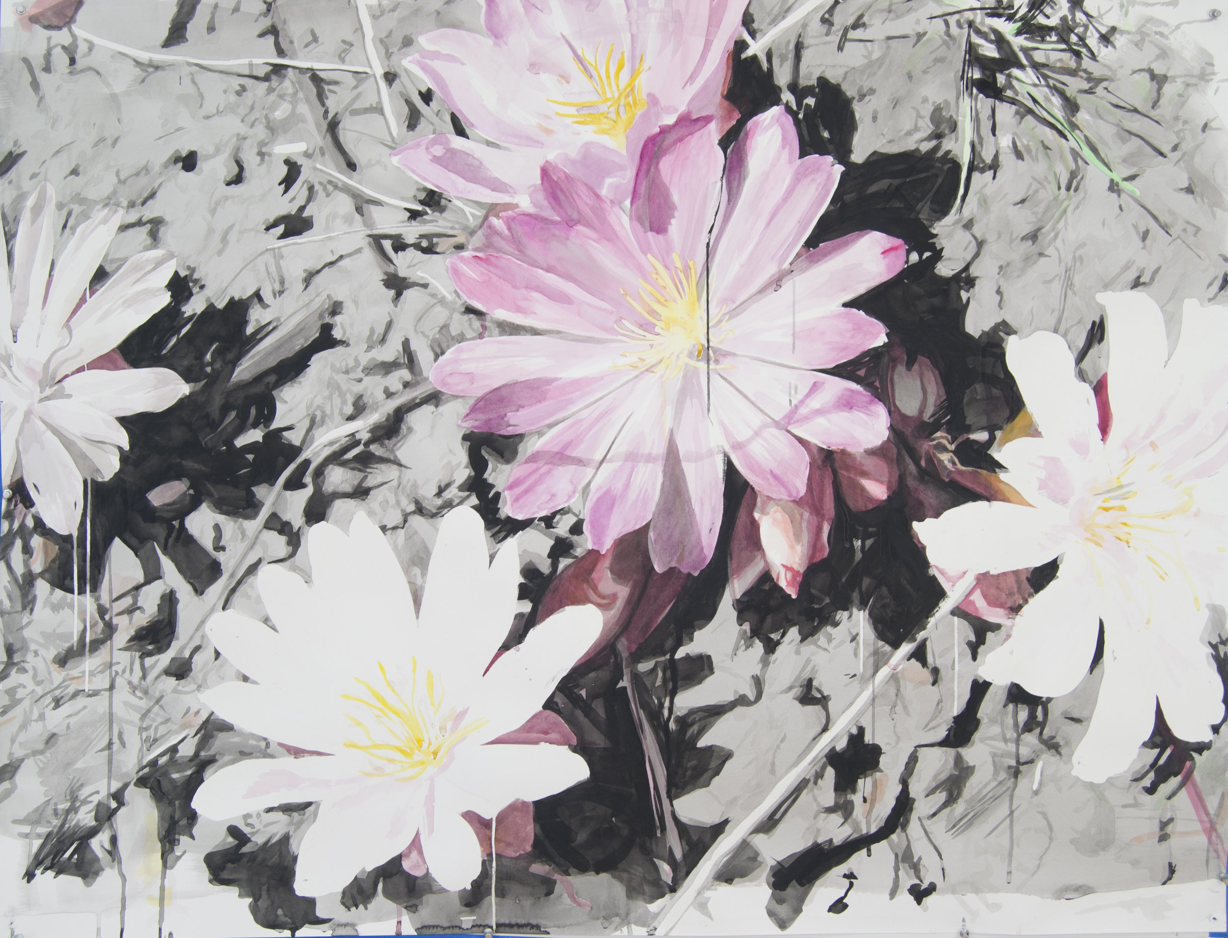 Pink and White Lewisias w Silhouettes