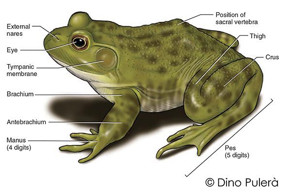 frog external anatomy.jpg
