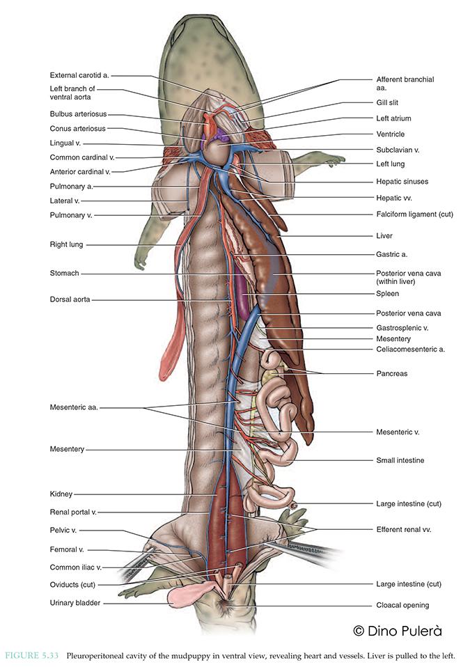 internal anatomy of mudpuppy.jpg