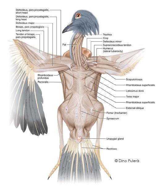 Pigeon muscles.jpg
