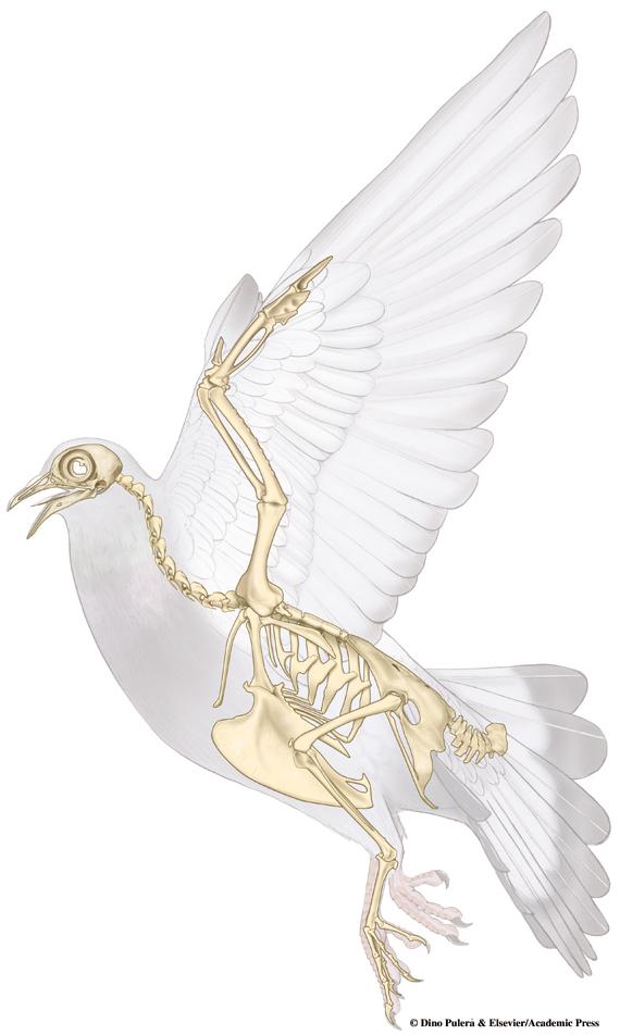 Pigeon skeleton.jpg
