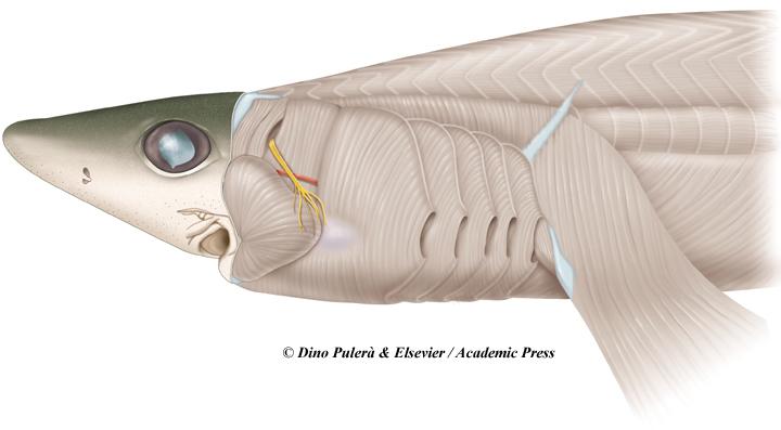 shark head muscles.jpg