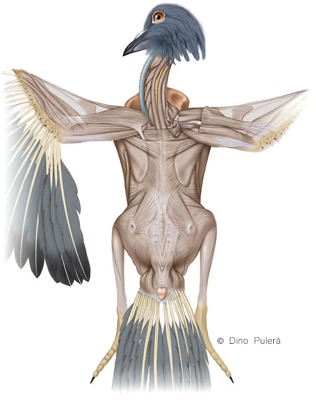 Superficial muscles of pigeon in dorsal view.jpg