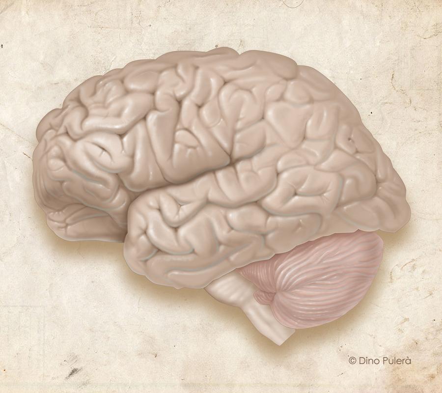 brain-left lateral.jpg
