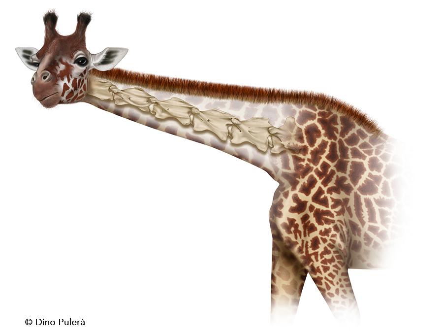 giraffe c-spine_2.jpg