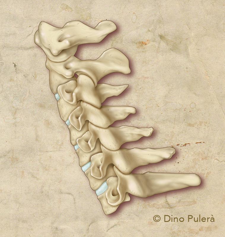 human c-spine_1.jpg