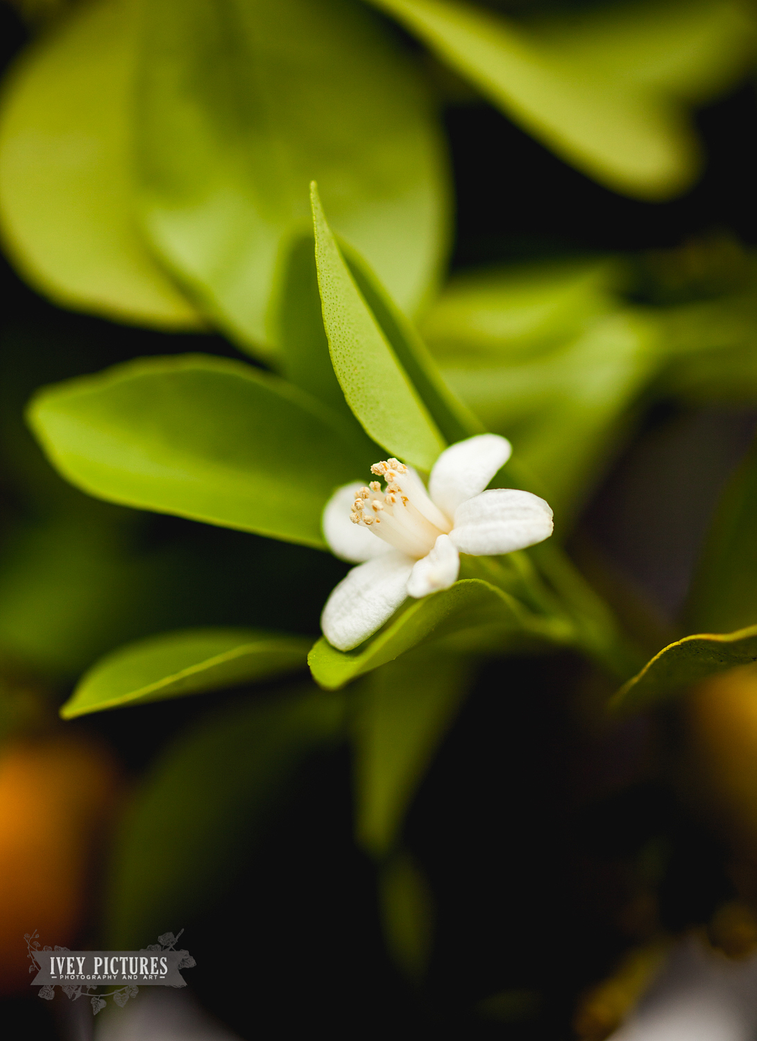 Orange blossoms at wedding