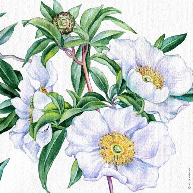 #watercolor #illustration #aliciamalesani #flowersoninstagram #gardenflowers #botanicalillustration #watercolorpainting #botanicalartworldwide