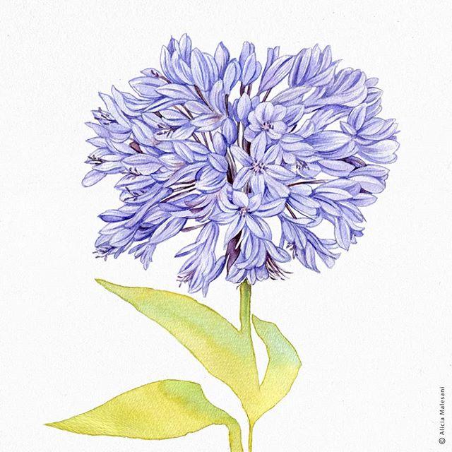 #acuarelasobrepapel #watercolor #botanicalartworldwide #color  #aliciamalesani #illustration #flowers #wip