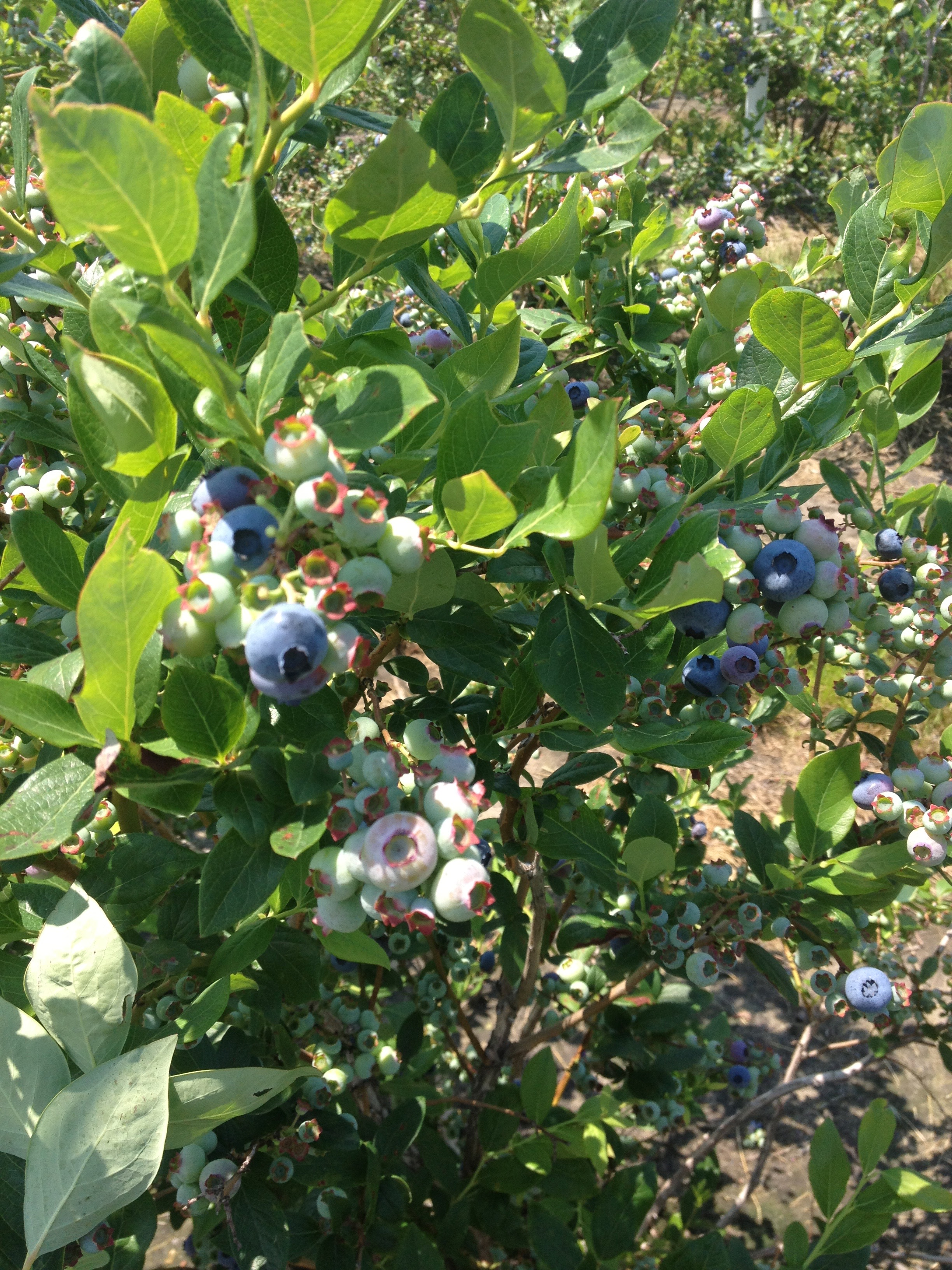 The yeast were from these blueberries John and our illustrator, Nikki, harvested in 2013
