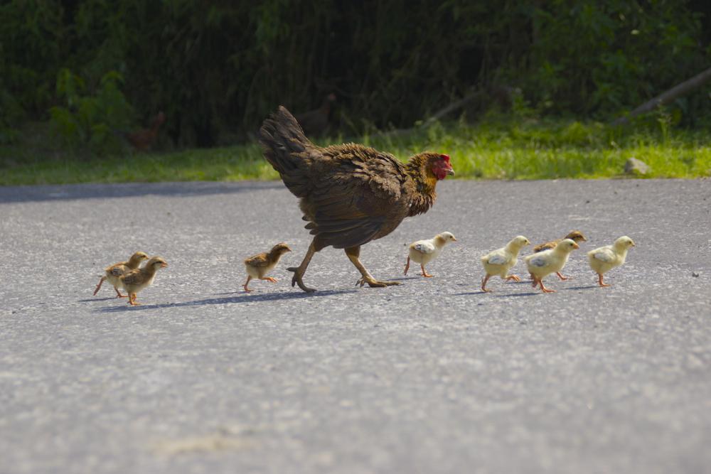 6 chicken crossing.jpg