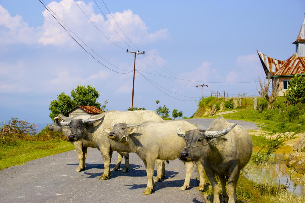 Road Oxen.