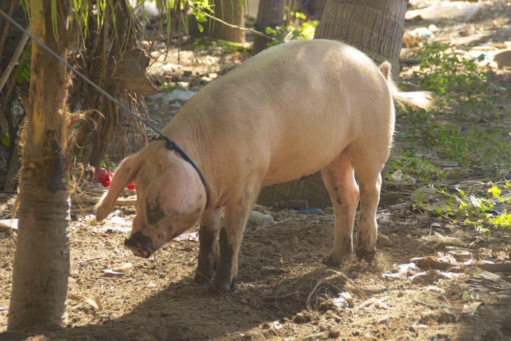 14 big pig.jpg