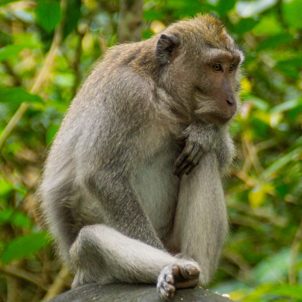 The thinking monkey.