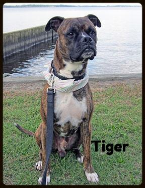 tiger-1-web.jpg