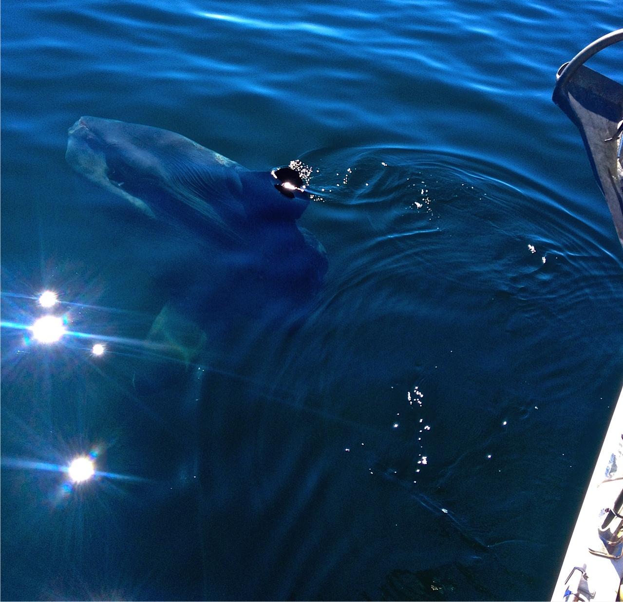 Ocean Sunfish.jpg