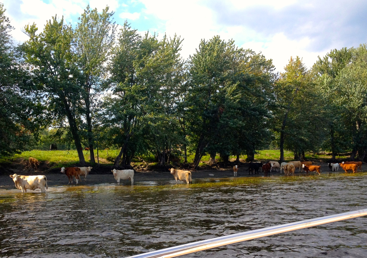 The cows of the Saint John river.jpg