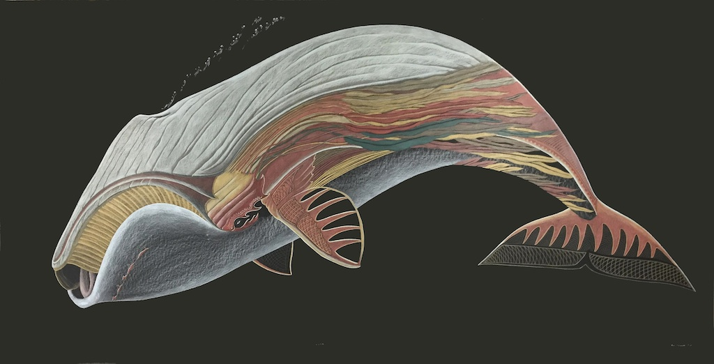 Tim Pitsiulak, Bow Head Whale, 48 x 96, Coloured Pencil on Paper