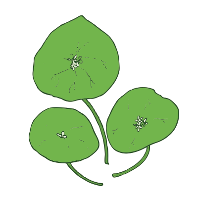 miners_lettuce.png