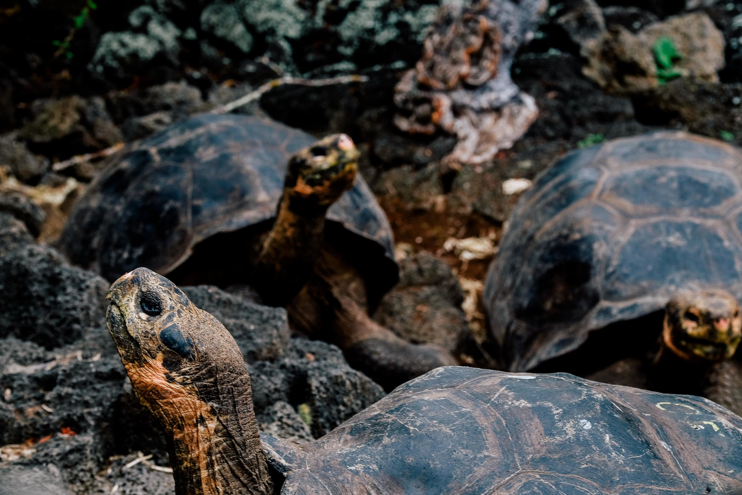The giant Galapagos tortoises are gigantic and they are incredibly impressive up close!