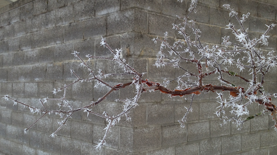 frost on a tree limb (c) mark somple 2015