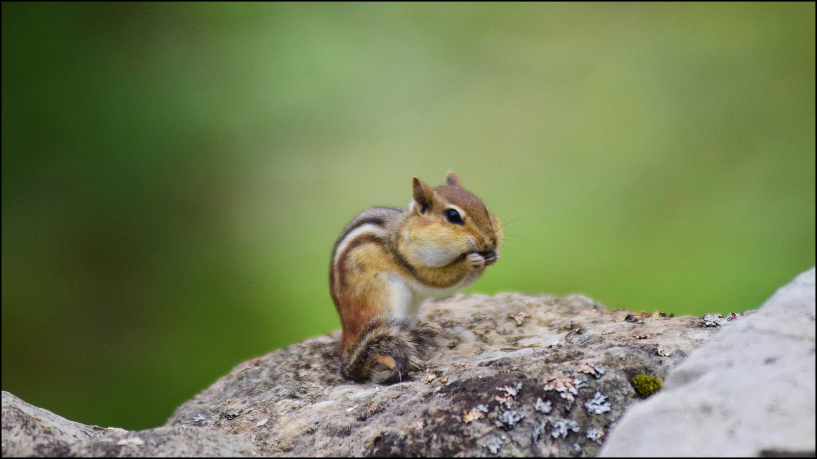 the chipmunk only cares that he gets nuts to eat (c) mark somple 2019