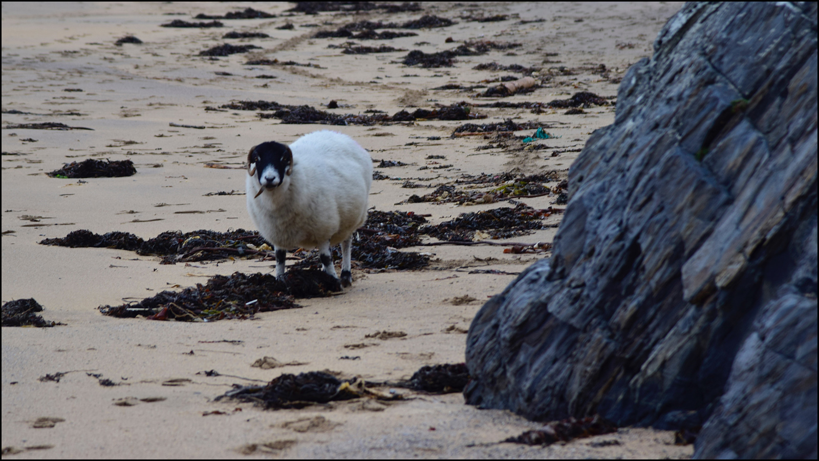 didn't have an octoups image that wasn't sushi…how abot a goat roaming a beach? (c) mark somple 2019