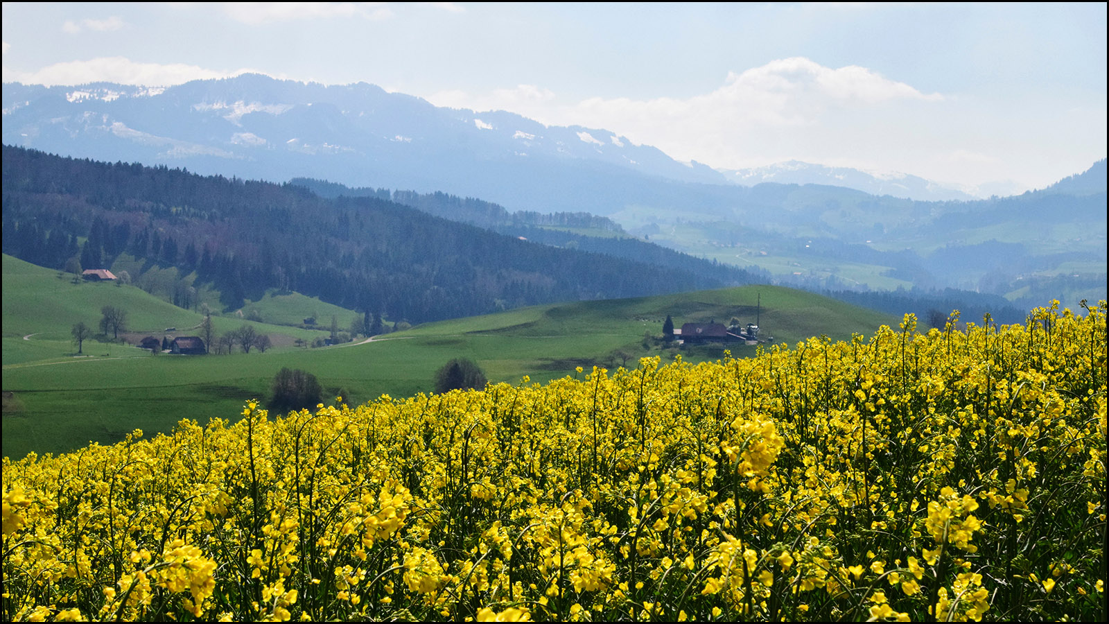 enjoy a photo of what it looks like walking through a typical swiss field (notice sunlight!) - (c) mark somple 2019