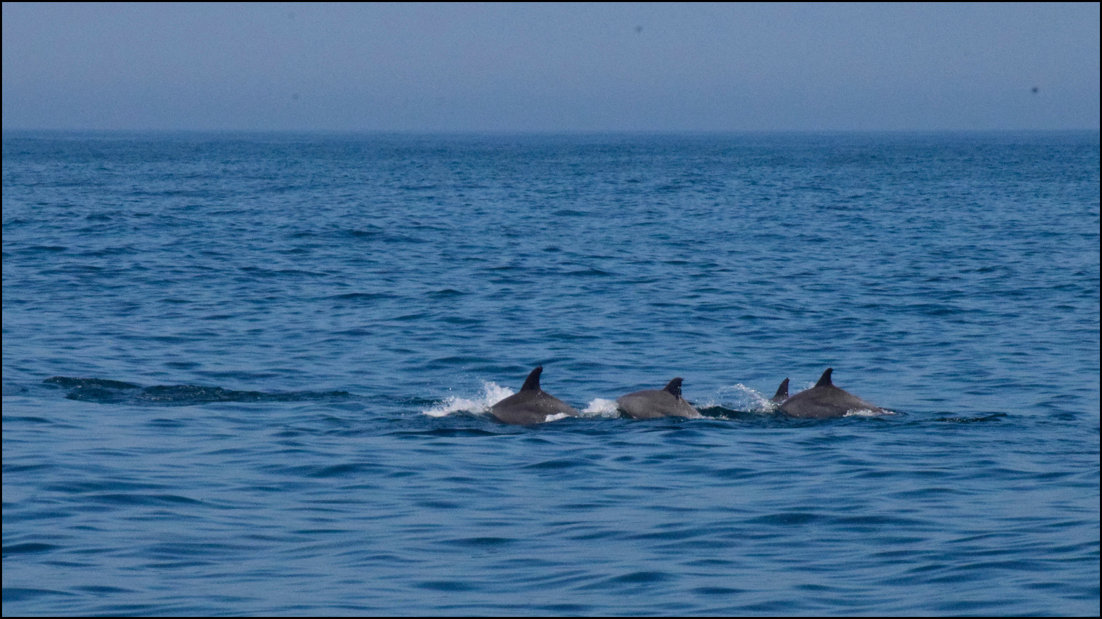 i didn't get any images of the one dolphin jumping. but i can see him jumping in my memory (c) mark somple 2019