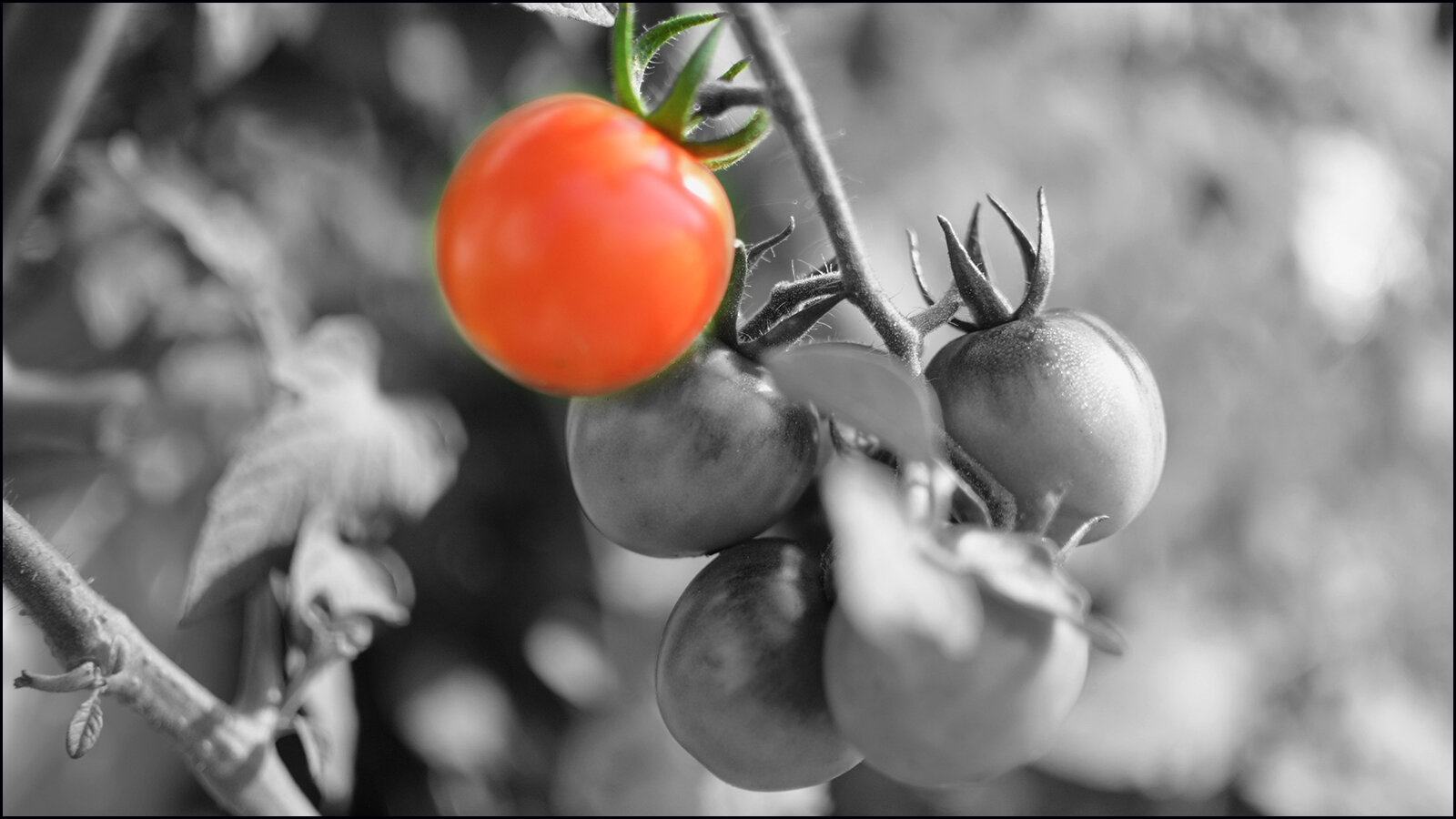 slowly, the tomatoes are turning red.  (c) mark somple 2019