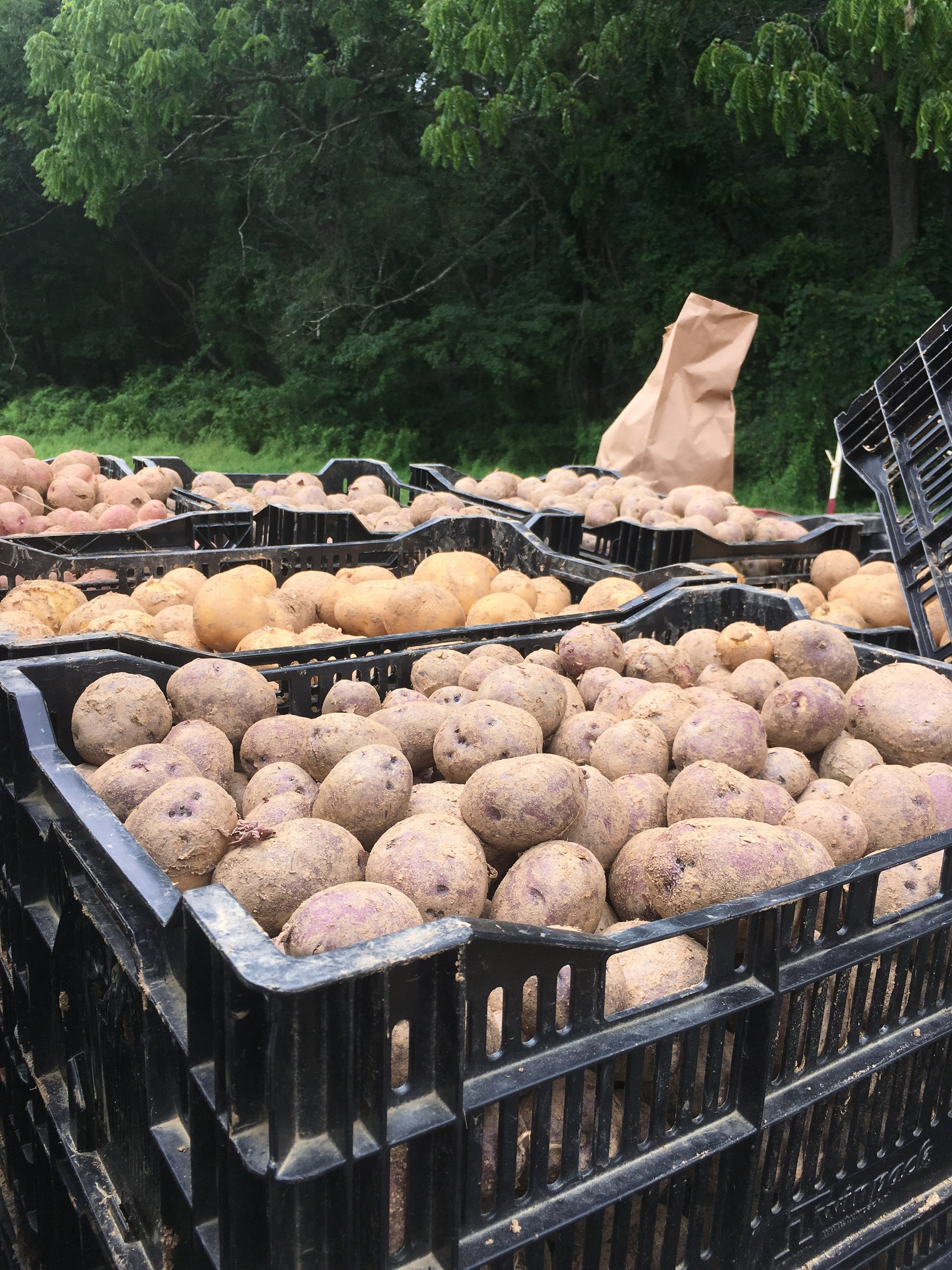 Just a few of the spuds we harvested on Thursday!