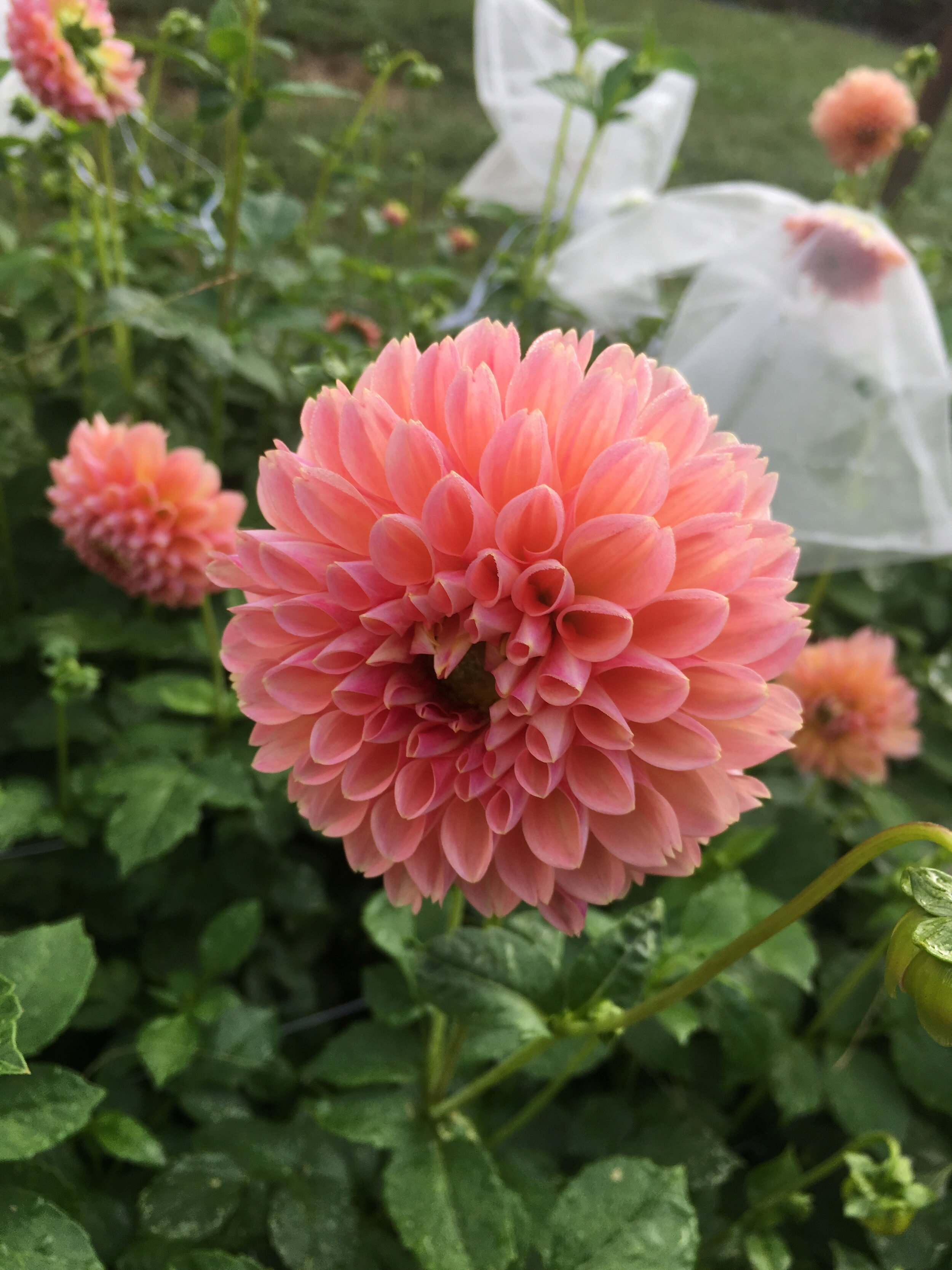 We'll have lots of dahlias at market this week- they're truly special!