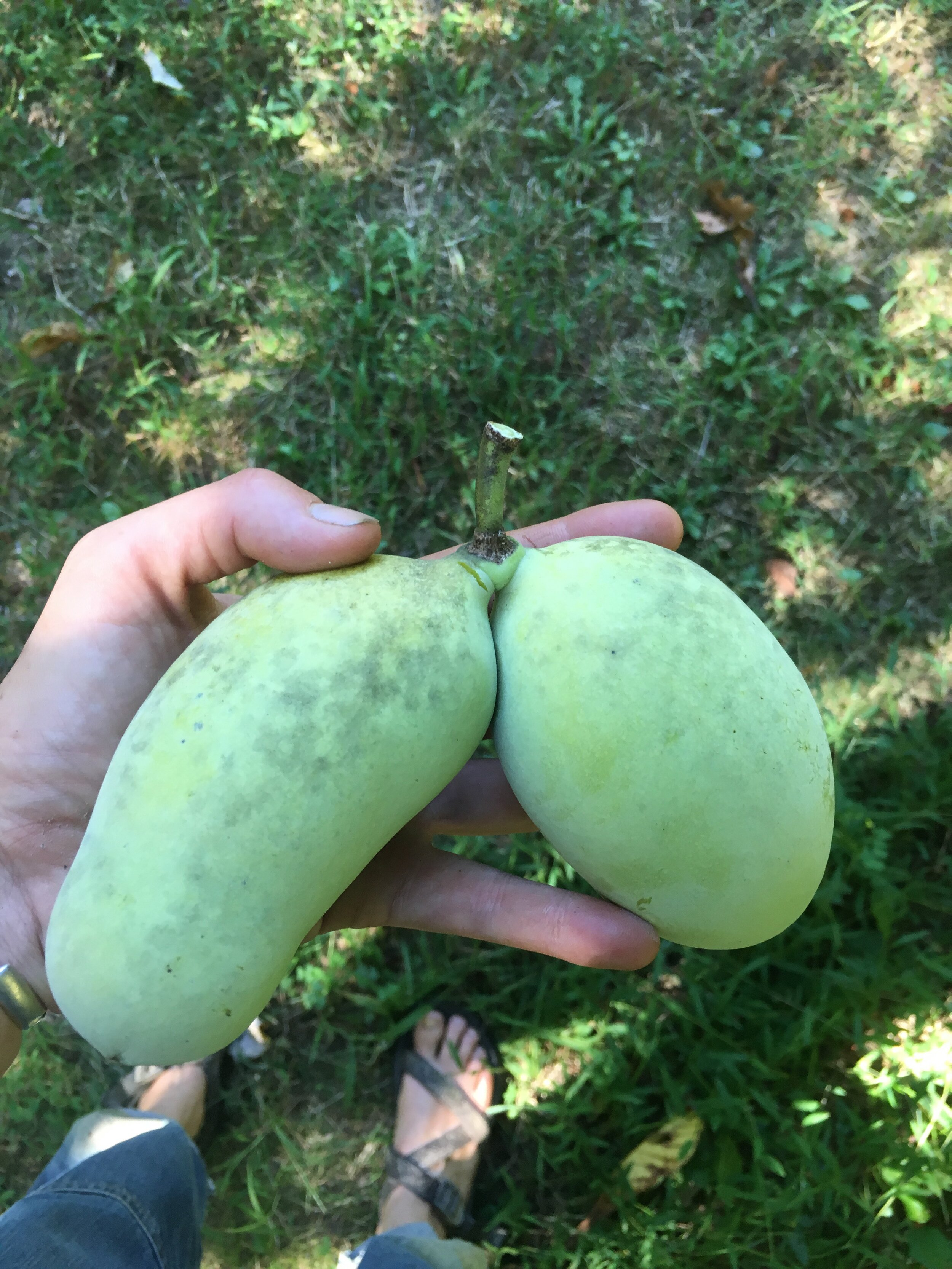 Are you tired of pawpaws yet? We're not!