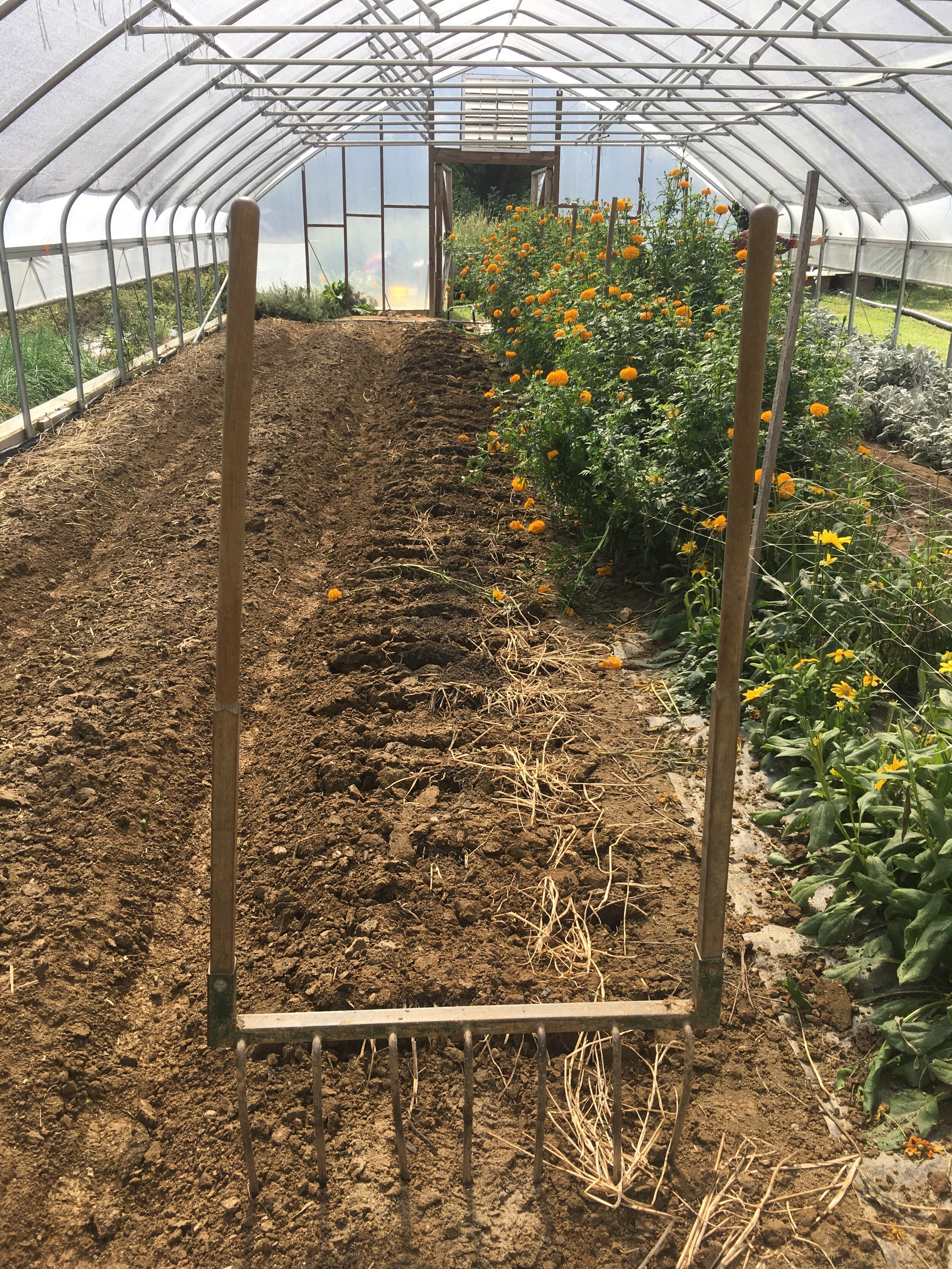 Turning over beds in the high tunnel to prepare for our cool flowers. These beds had a buckwheat cover crop in them for part of the summer, and before that they were home to lettuce, tulips, and sunflowers.
