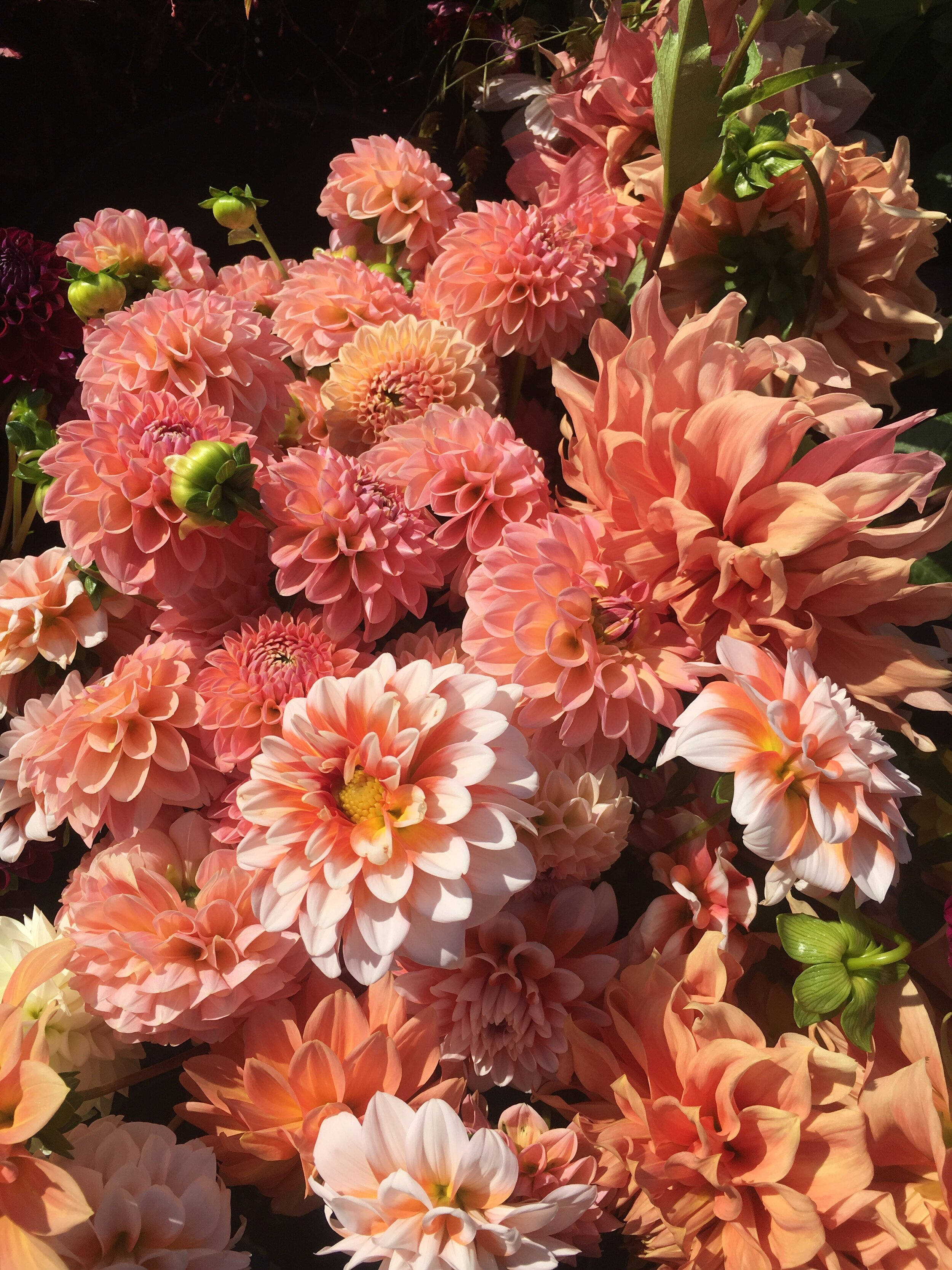 We're still harvesting hundreds of dahlias each week. I can't get enough of these gorgeous peachy blooms!