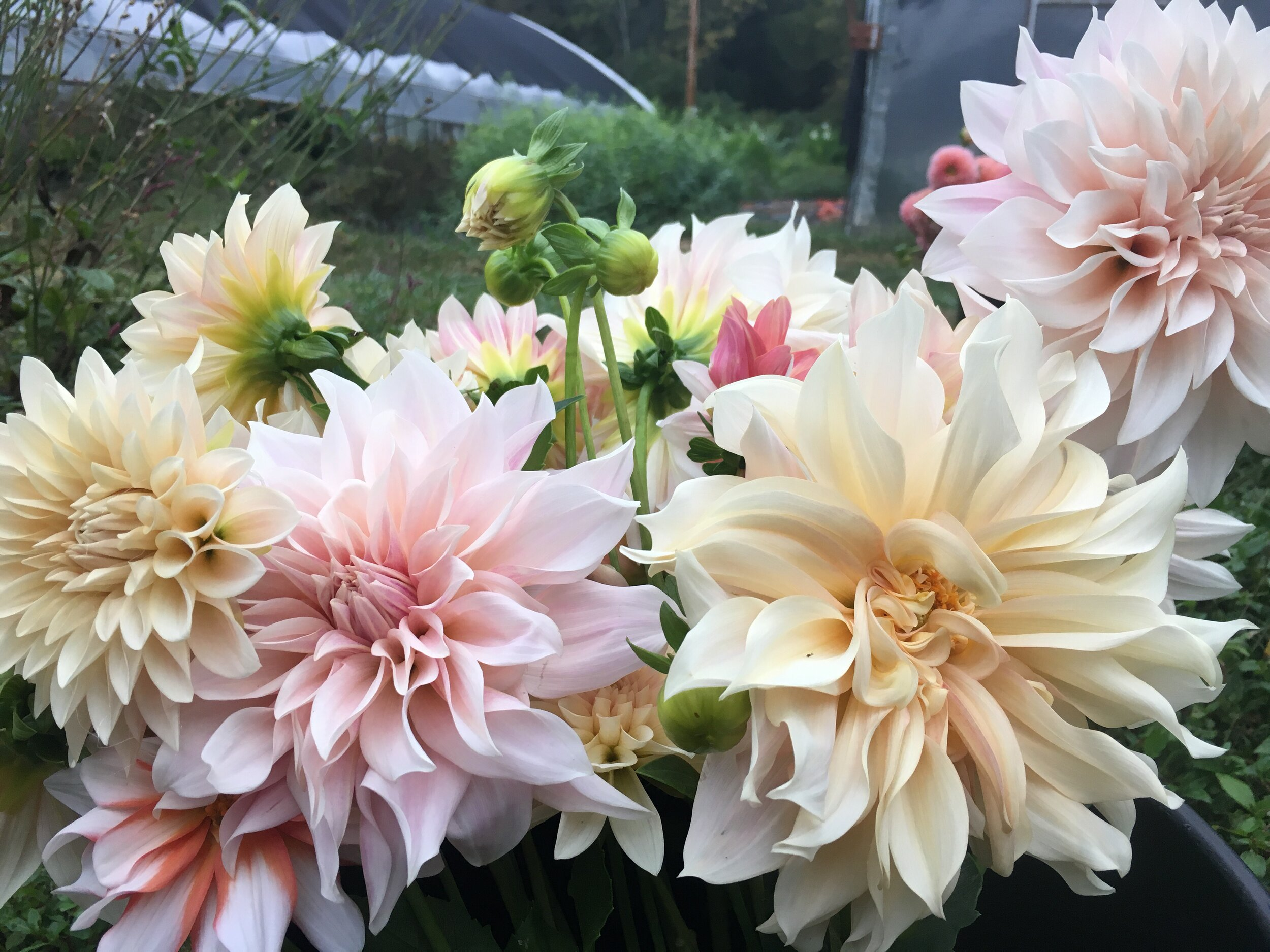 October has arrived and our dahlias will be gone soon. We've enjoyed these beauties immensely over the last several months. In no time at all, frost will come and we'll dig up the dahlia tubers and store them for next year. Growing dahlias for cut flower production takes a whole lot of time and effort, but it's certainly worth it to see such stunning blooms.