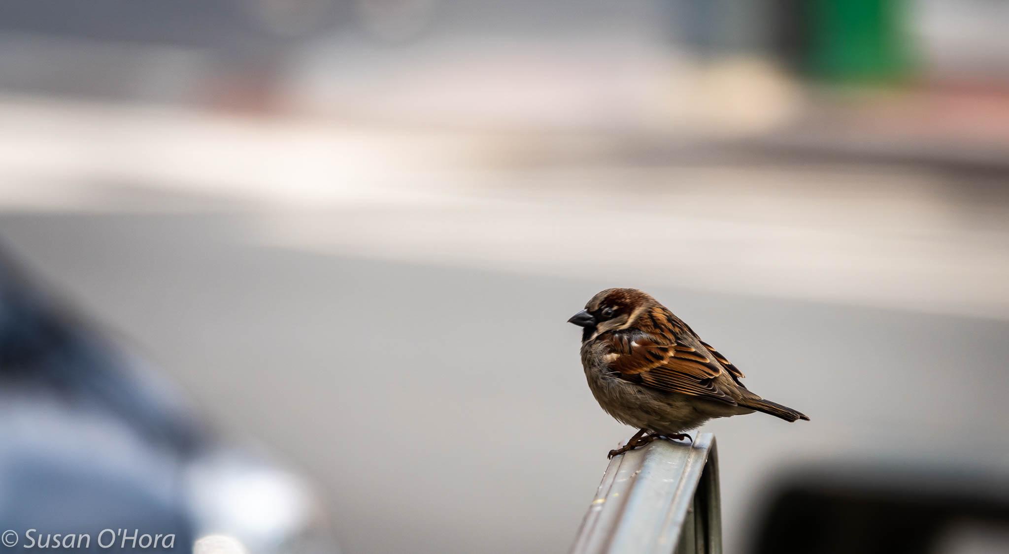 DSC03011_Sparrow.jpg